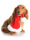 Naughty Christmas dog. Naughty dachshund dog chewing on Santa's hat Royalty Free Stock Photos