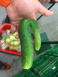Naughty Cucumber royalty free stock photos