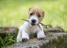 Naughty cute pet dog puppy playing royalty free stock photography