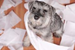 Naughty cute schnauzer puppy dog made a mess at home. The dog is home alone. Naughty schnauzer puppy dog made a mess at home. The dog is home alone royalty free stock photo