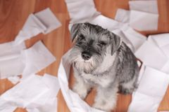 Naughty cute schnauzer puppy dog made a mess at home. The dog is home alone. Naughty schnauzer puppy dog made a mess at home. The dog is home alone royalty free stock image