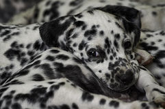 Naughty dalmatian puppy Stock Image