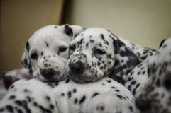 Naughty dalmatian puppy sleep Stock Photo