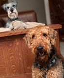 Naughty dog. Naughty Miniature schnauzer dog on couch with jealous airdale terrier in front sitting royalty free stock photo
