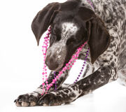 Naughty dog Stock Photos