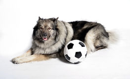 Naughty Dog with football Stock Images