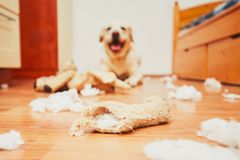 Free Naughty Dog Home Alone Royalty Free Stock Photography - 78373727