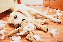 Free Naughty Dog Home Alone Royalty Free Stock Image - 78374086