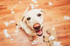 Naughty dog home alone. Yellow labrador retriever destroyed the plush toy and made a mess in the apartment Royalty Free Stock Photography