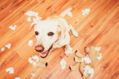 Naughty dog home alone. Yellow labrador retriever destroyed the plush toy and made a mess in the apartment Stock Photo