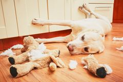 Naughty dog home alone. Yellow labrador retriever destroyed the plush toy and made a mess in the apartment Royalty Free Stock Image