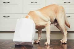 Naughty dog in home kitchen Stock Image