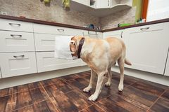Naughty dog in home kitchen Royalty Free Stock Photos