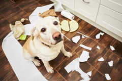 Naughty dog. Lying dog in the middle of mess in the kitchen Royalty Free Stock Photos