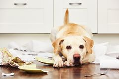 Naughty dog. Lying dog in the middle of mess in the kitchen Royalty Free Stock Images