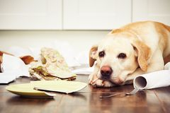 Naughty dog. Lying dog in the middle of mess in the kitchen Stock Photography