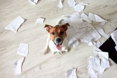 Naughty Dog in the Mess. Bad Dog Sitting In Torn Pieces of Documents on the Floor. Pet Tore up Important Documents. Bad dog sittin. G and looking up on his owner stock images
