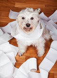 Naughty Dog playing in a roll of toilet paper Royalty Free Stock Image