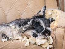 Naughty dog. Naughty schnauzer puppy dog sleeping on a couch that she has just destroyed Stock Images