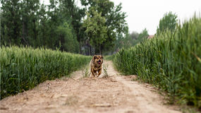 Naughty dog. Shot in Country wheat field Stock Photos