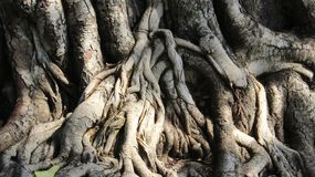 naughty Fim acima da casca de árvore do figo sagrado fotos de stock royalty free