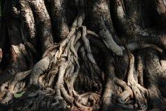 naughty Fim acima da casca e das texturas de árvore de Pipal foto de stock royalty free