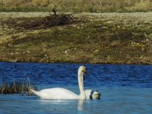 Naughty swan in the lagoon stock images