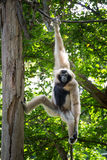 Naughty gibbon Royalty Free Stock Photos