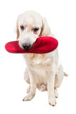 Naughty golden retriever puppy with slipper in mouth. Isolated Stock Photo
