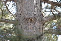 Naughty Knotty Pine in the forest Royalty Free Stock Image