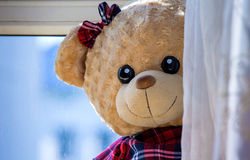 The naughty little bear hide and seek. The curtain to hide toy bear half face, like hide and seek Royalty Free Stock Photos