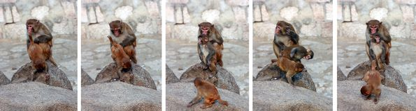 Naughty little monkeys Royalty Free Stock Photo