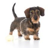 Naughty miniature dachshund Stock Photo