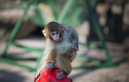Naughty monkey. A little monkey playing in the sun Royalty Free Stock Images