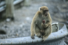 Naughty monkey. Welcome to thailand royalty free stock photo