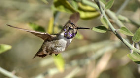 Naughty by Nature. A closeup of a pretty hummingbird Royalty Free Stock Images