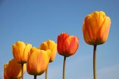 naughty Orvalho puro da manhã nas pétalas coloridas das tulipas fotografia de stock royalty free