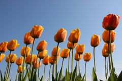 naughty Orvalho puro da manh? nas p?talas coloridas das tulipas foto de stock royalty free