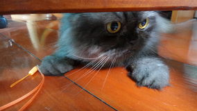 Naughty  Persian cat Stock Photos