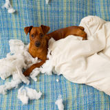 Naughty playful puppy dog after biting a pillow. Tired of hard work royalty free stock photography