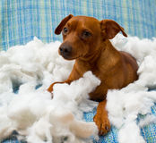 Naughty playful puppy dog after biting a pillow. Tired of hard work Royalty Free Stock Photo
