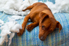 Naughty playful puppy dog after biting a pillow. Tired of hard work royalty free stock photos