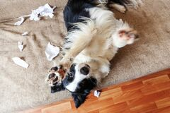 Free Naughty Playful Puppy Dog Border Collie After Mischief Biting Toilet Paper Lying On Couch At Home. Guilty Dog And Destroyed Living Royalty Free Stock Image - 182288956