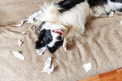 Free Naughty Playful Puppy Dog Border Collie After Mischief Biting Toilet Paper Lying On Couch At Home. Guilty Dog And Destroyed Living Stock Photography - 188093762
