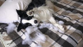 Naughty playful puppy dog border collie after mischief biting pillow lying on couch at home. Guilty dog and destroyed