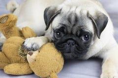 Naughty pug puppy royalty free stock photo