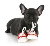 Naughty puppy. French bulldog puppy chewing on pair of red running shoes with reflection on white background Royalty Free Stock Images