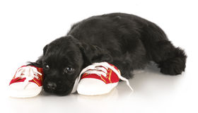 Naughty puppy. Cocker spaniel puppy laying beside pair of shoes - dog chewing on chews Stock Photo