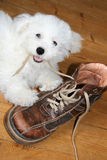 Naughty puppy. Eating shoelaces (bichon frise royalty free stock images