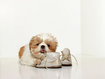 Naughty Puppy Royalty Free Stock Photo